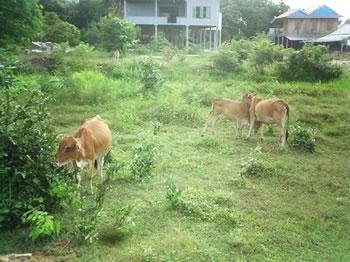 伝統の森で、遊ぶ子牛たち